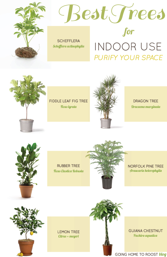 best trees for indoor use : going home to roost